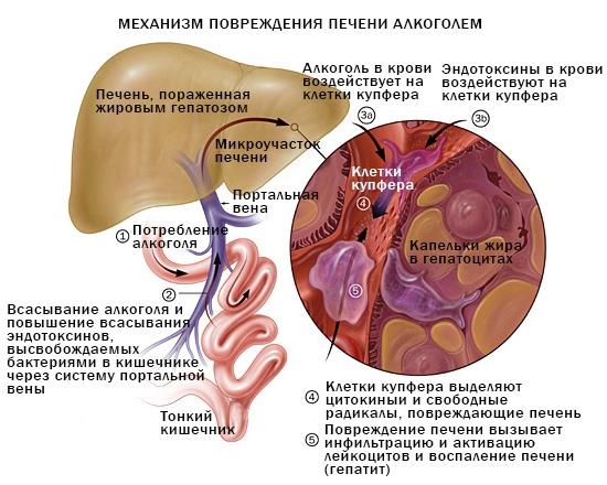 Какой врач занимается болезнью печени