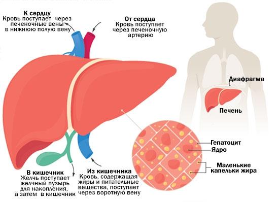 Массаж печени жировой гепатоз